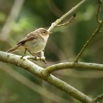 Chiff Chaffs are one of many small songbirds at PBNR. This one taken on 25th April 2013.