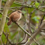 One of the many Wrens of the PBNR.