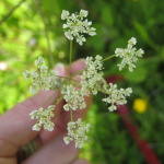 cow_parsley-2