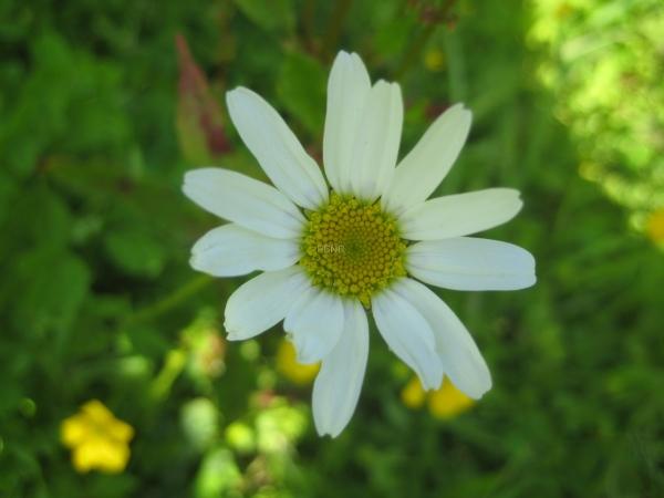 oxeye_daisy-2