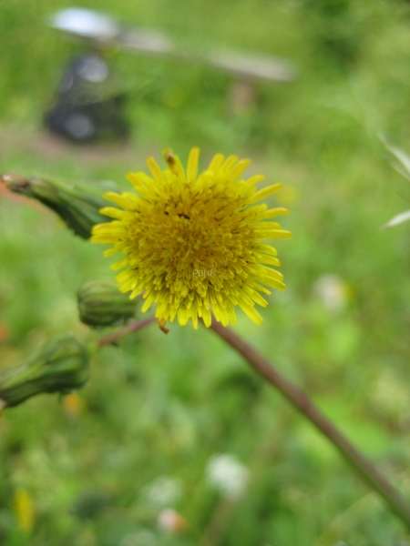 prickly_sow_thistle-2