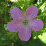 french_cranesbill-2