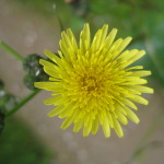 smooth_sow_thistle-2