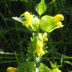 yellow_rattle-2
