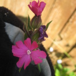 red_campion-2