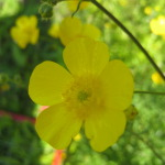 meadow_buttercup-2