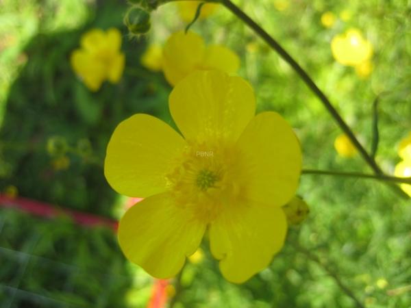 meadow_buttercup-2